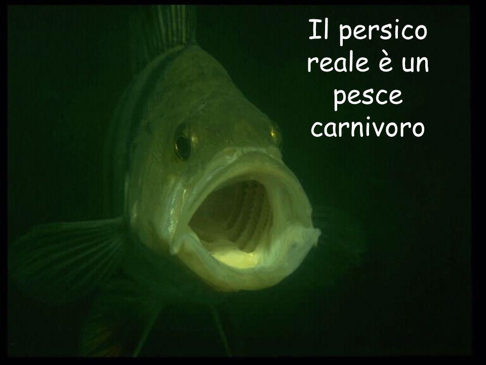Il persico reale è un pesce carnivoro