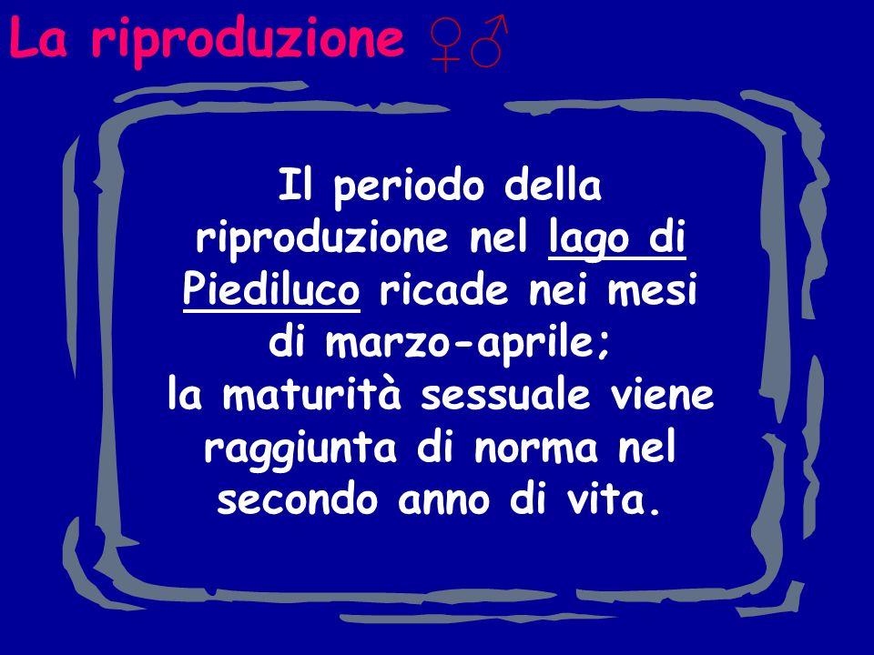 La riproduzione Il periodo della riproduzione nel lago di Piediluco ricade nei mesi di marzo-aprile; la maturità sessuale viene raggiunta di norma nel secondo anno di vita.