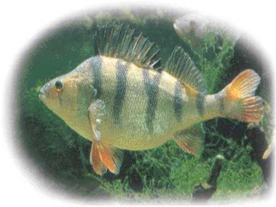 Lalimentazione La dieta varia a seconda delletà: da giovane si nutre di invertebrati, da adulto preda piccoli organismi che vivono sul fondo dei fiumi e dei laghi (benthos) e di pesci.