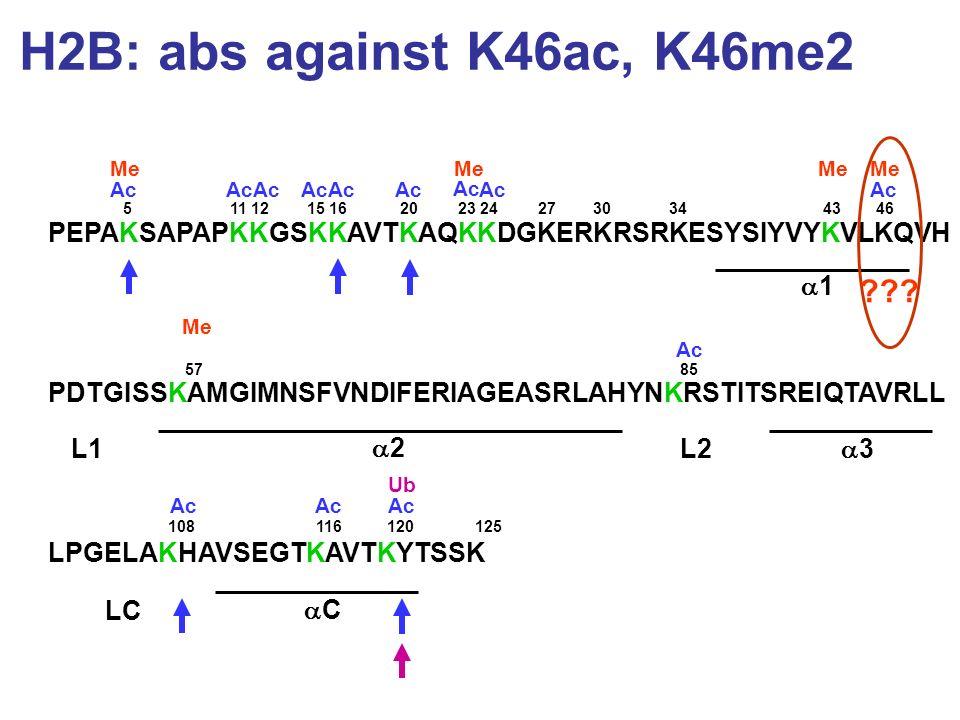 H2B: abs against K46ac, K46me2 PEPAKSAPAPKKGSKKAVTKAQKKDGKERKRSRKESYSIYVYKVLKQVH PDTGISSKAMGIMNSFVNDIFERIAGEASRLAHYNKRSTITSREIQTAVRLL LPGELAKHAVSEGTKA