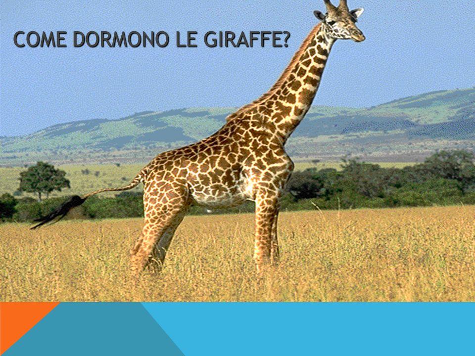 COME DORMONO LE GIRAFFE?