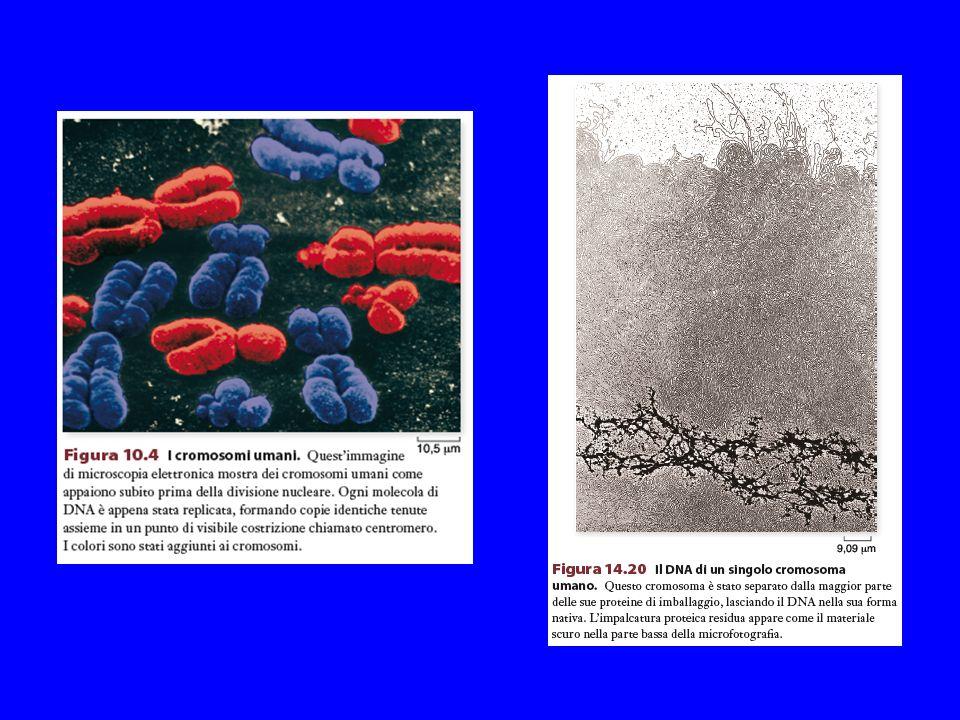 NEI CROMOSOMI IL FILAMENTO DI DNA, ASSOCIATO A PROTEINE, SI TROVA IN FORMA SUPERAVVOLTA