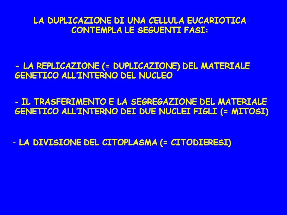 LA DUPLICAZIONE DI UNA CELLULA EUCARIOTICA CONTEMPLA LE SEGUENTI FASI: - LA REPLICAZIONE (= DUPLICAZIONE) DEL MATERIALE GENETICO ALLINTERNO DEL NUCLEO - IL TRASFERIMENTO E LA SEGREGAZIONE DEL MATERIALE GENETICO ALLINTERNO DEI DUE NUCLEI FIGLI (= MITOSI) - LA DIVISIONE DEL CITOPLASMA (= CITODIERESI)