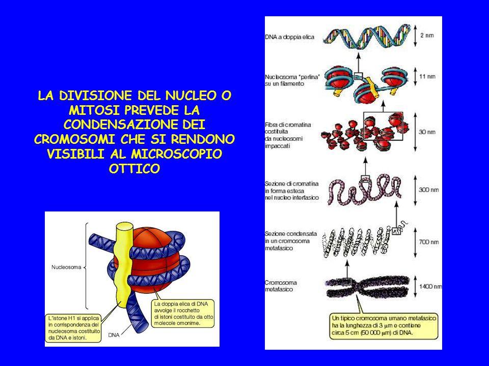 LA DIVISIONE DEL NUCLEO O MITOSI PREVEDE LA CONDENSAZIONE DEI CROMOSOMI CHE SI RENDONO VISIBILI AL MICROSCOPIO OTTICO