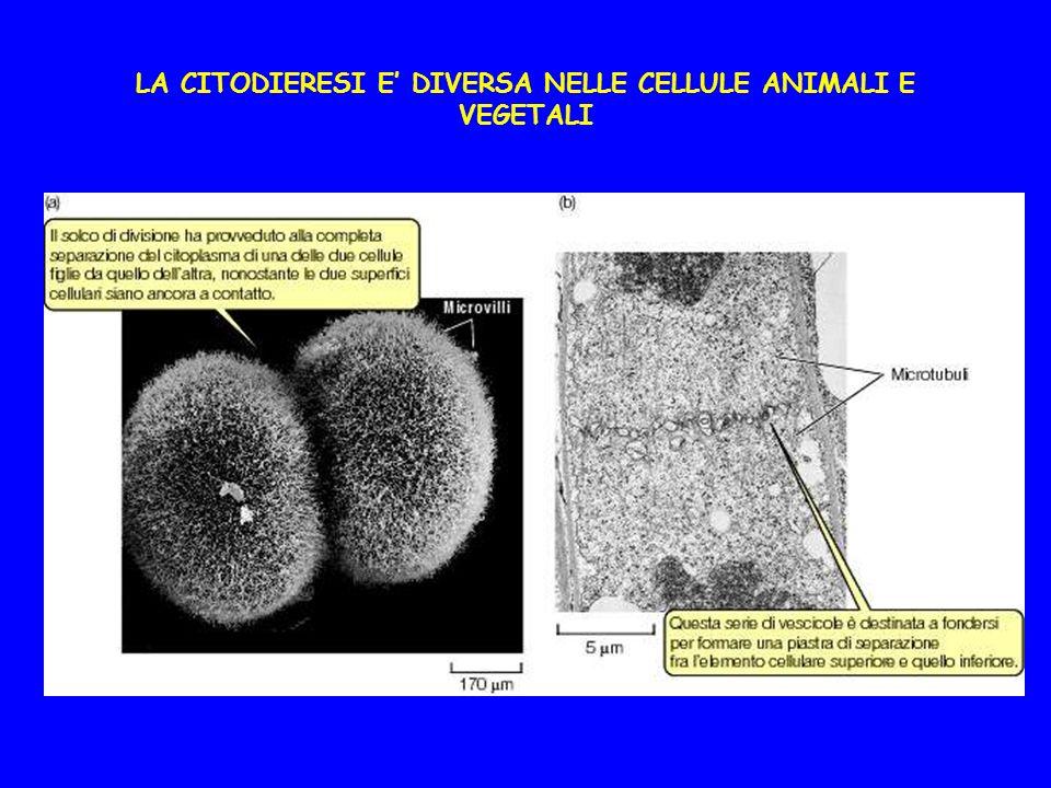 LA CITODIERESI E DIVERSA NELLE CELLULE ANIMALI E VEGETALI