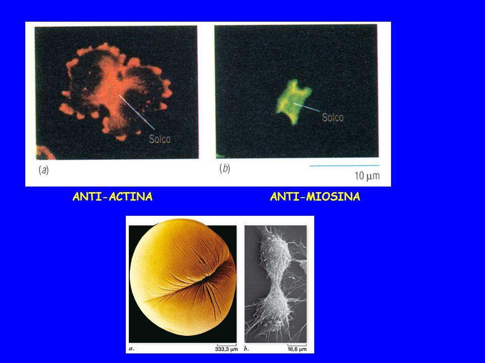 ANTI-ACTINAANTI-MIOSINA