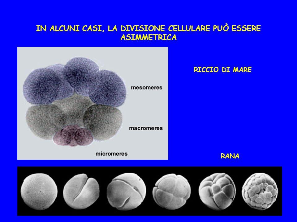 IN ALCUNI CASI, LA DIVISIONE CELLULARE PUÒ ESSERE ASIMMETRICA RICCIO DI MARE RANA
