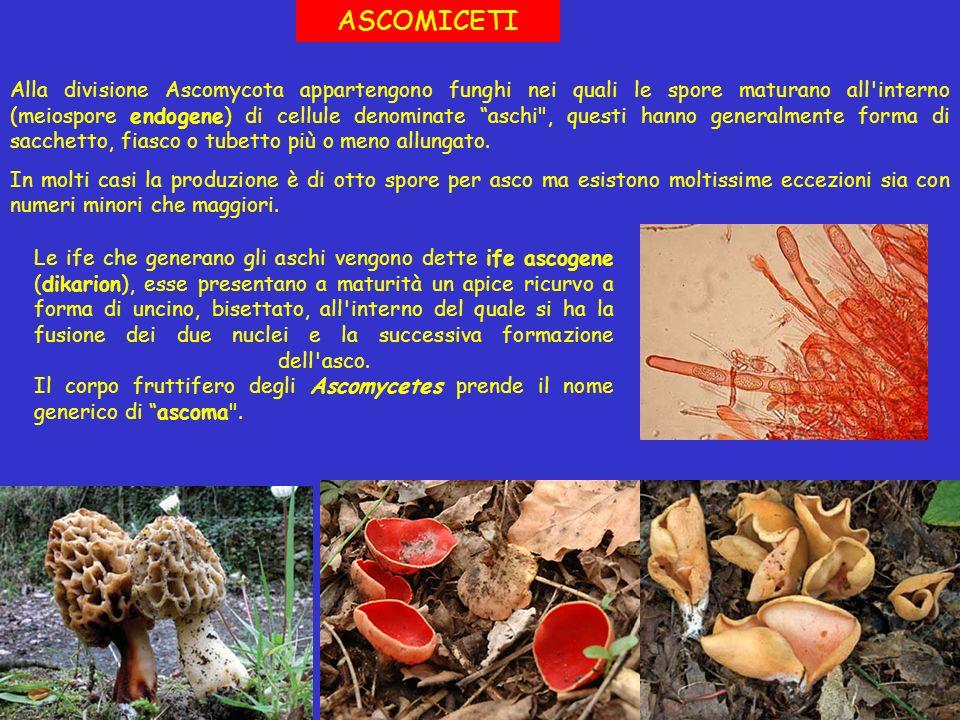 Alla divisione Ascomycota appartengono funghi nei quali le spore maturano all'interno (meiospore endogene) di cellule denominate aschi