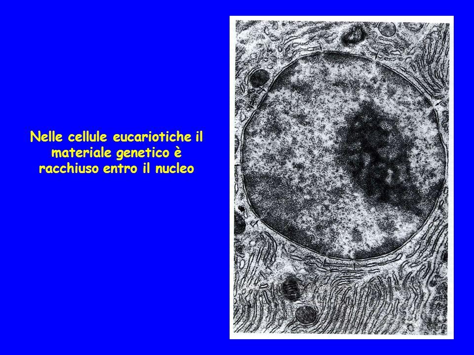 Una comune origine del sistema membranoso interno trova conferma nel fatto che linvolucro nucleare è continuo con il reticolo endoplasmatico ed è associato a ribosomi sul versante citoplasmatico Inoltre, reticolo, Golgi e plasmalemma si scambiano continuamente componenti Che il nucleo sia comparso precocemente è suggerito dalla presenza di eucarioti unicellulari privi di mitocondri