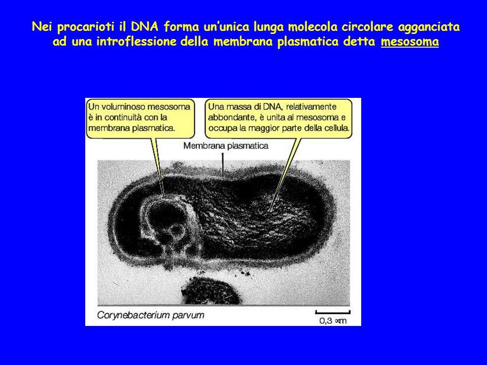Nei procarioti il DNA forma ununica lunga molecola circolare agganciata ad una introflessione della membrana plasmatica detta mesosoma