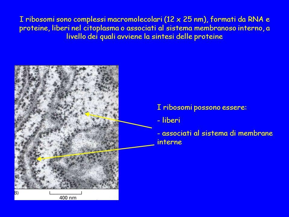 I ribosomi sono complessi macromolecolari (12 x 25 nm), formati da RNA e proteine, liberi nel citoplasma o associati al sistema membranoso interno, a livello dei quali avviene la sintesi delle proteine I ribosomi possono essere: - liberi - associati al sistema di membrane interne