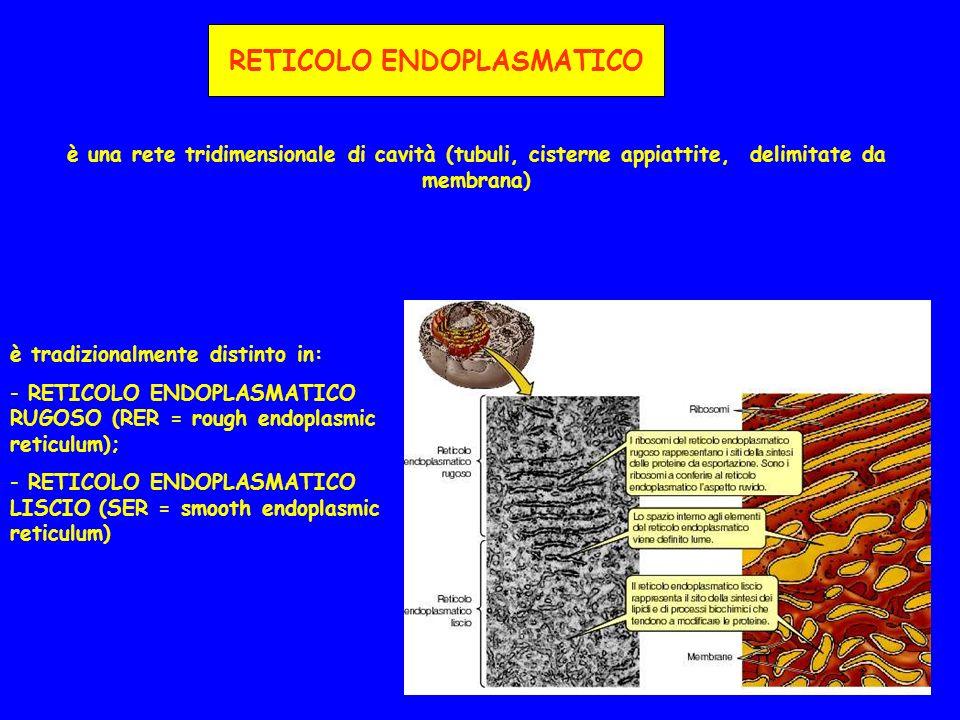 RETICOLO ENDOPLASMATICO è una rete tridimensionale di cavità (tubuli, cisterne appiattite, delimitate da membrana) è tradizionalmente distinto in: - RETICOLO ENDOPLASMATICO RUGOSO (RER = rough endoplasmic reticulum); - RETICOLO ENDOPLASMATICO LISCIO (SER = smooth endoplasmic reticulum)