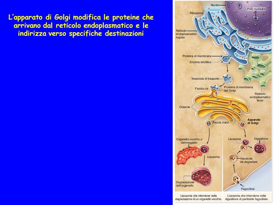 Lapparato di Golgi modifica le proteine che arrivano dal reticolo endoplasmatico e le indirizza verso specifiche destinazioni