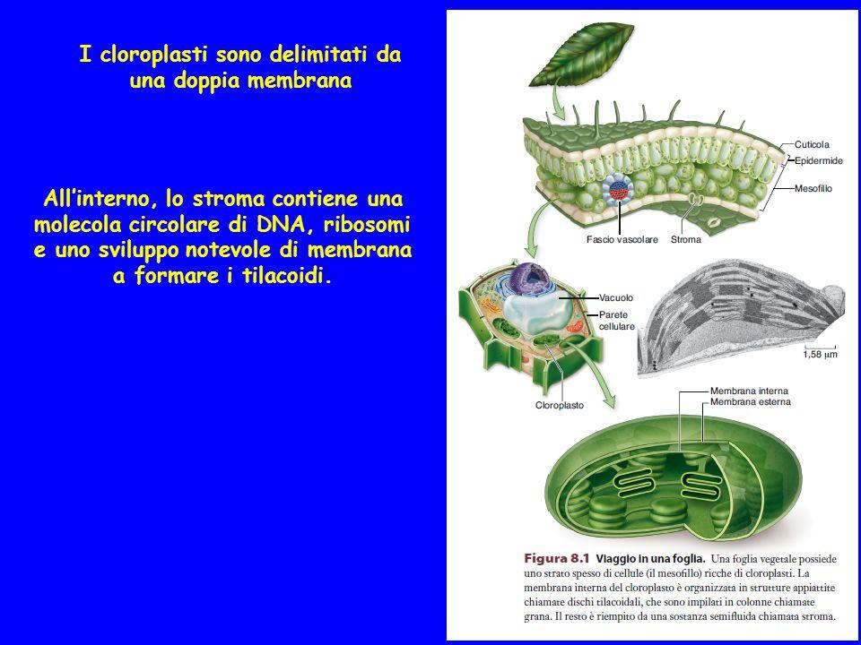 I cloroplasti sono delimitati da una doppia membrana Allinterno, lo stroma contiene una molecola circolare di DNA, ribosomi e uno sviluppo notevole di membrana a formare i tilacoidi.