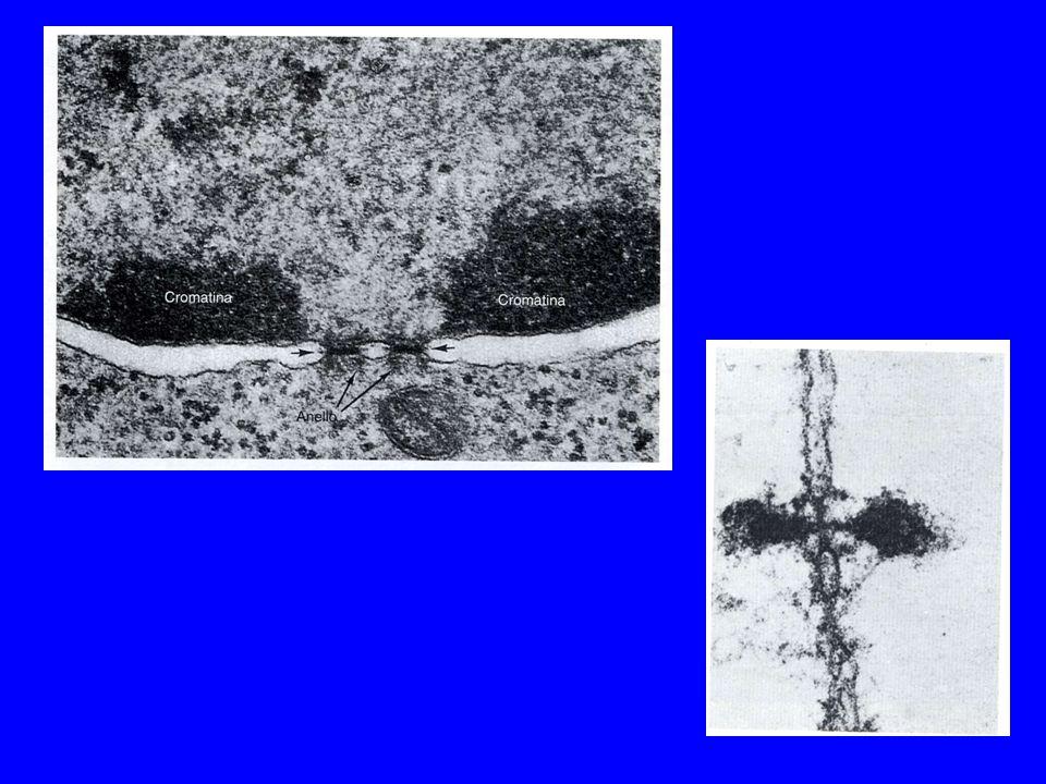 Il nucleo contiene il DNA associato a molecole proteiche, a formare un complesso di natura filamentosa definito cromatina La forma condensata della cromatina viene definita eterocromatina, quella diffusa eucromatina La componente attiva del DNA si trova nella eucromatina; la eterocromatina contiene DNA silente