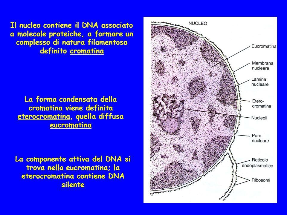 La lamina nucleare assicura ladesione della cromatina al versante interno dellinvolucro nucleare