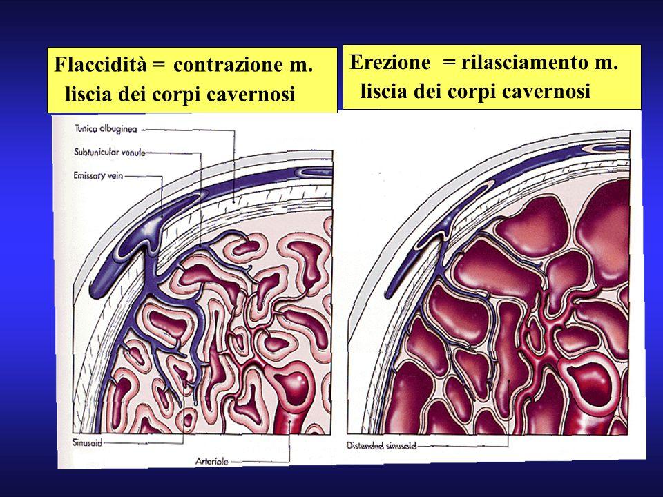 Flaccidità = contrazione m.liscia dei corpi cavernosi Erezione = rilasciamento m.