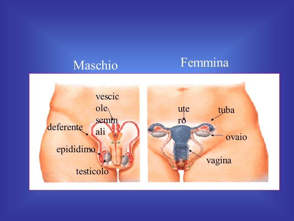 Maschio Femmina ovaio ute ro tuba vagina testicolo deferente vescic ole semin ali epididimo