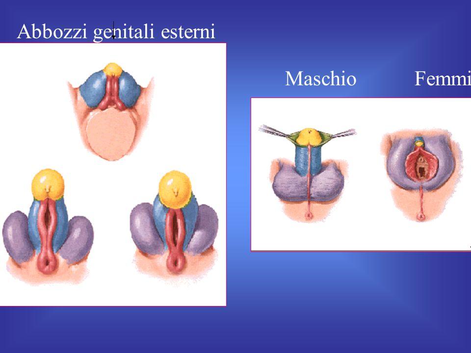 Abbozzi genitali esterni fetali Maschio Femmina