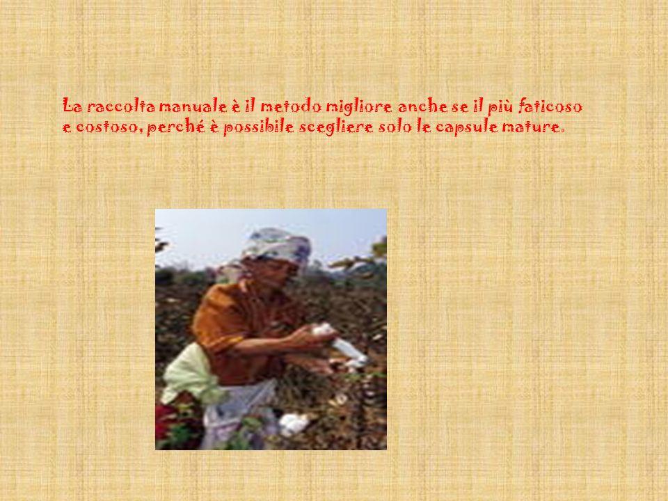 La raccolta del cotone si compie quando le capsule si aprono, e può essere fatta a mano o a macchina.