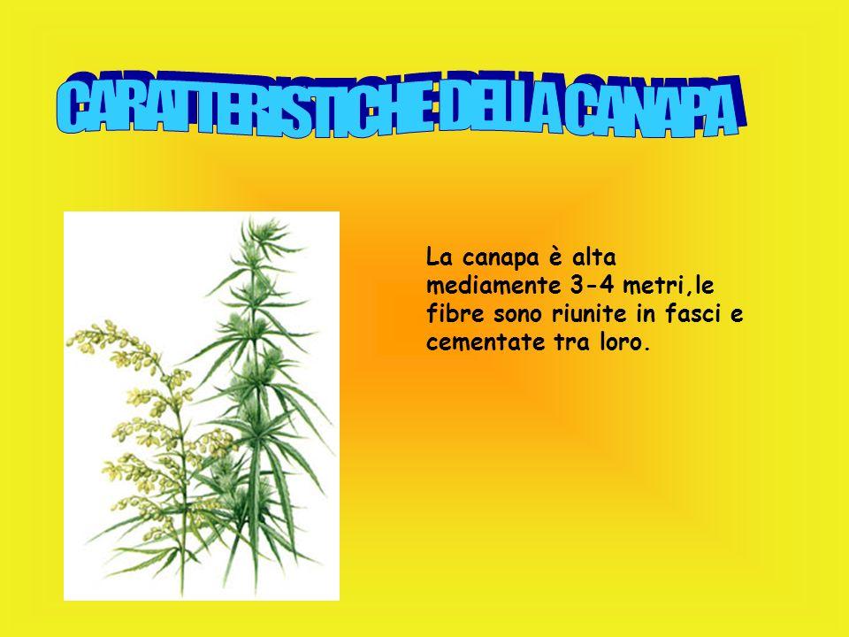Il lino contiene cellulosa,lignina,grassi e cere. Le sue fibre sono lunghe in media 50-60 cm