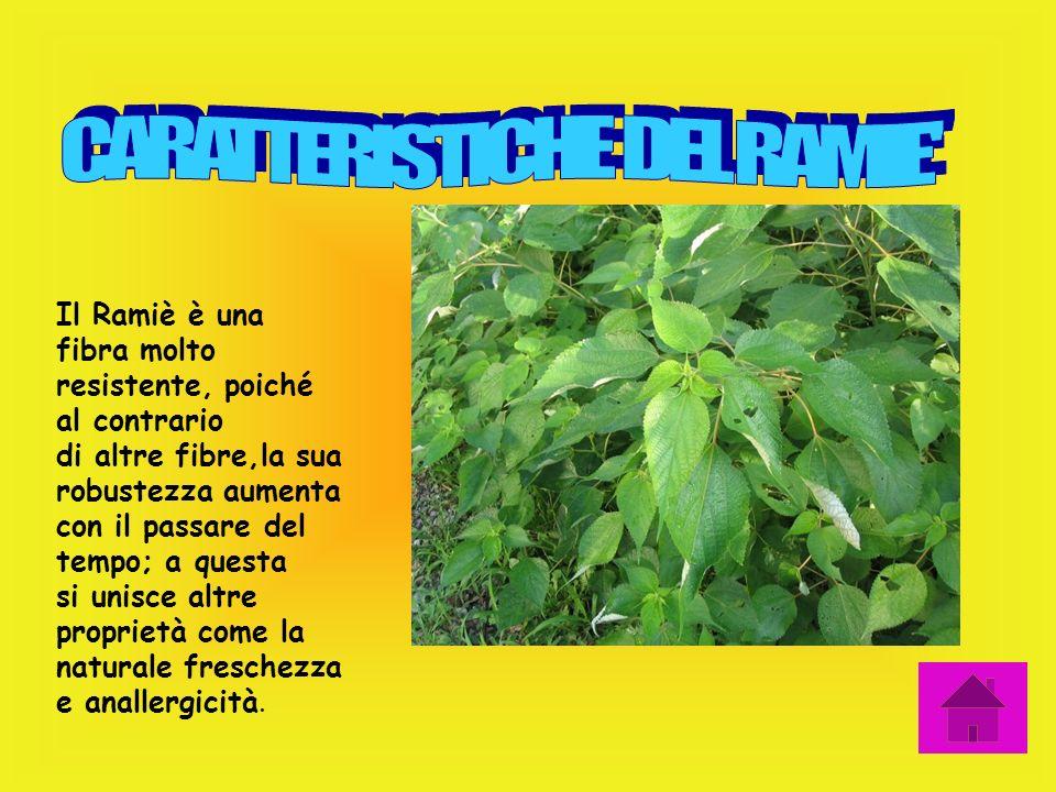 Una caratteristica delle foglie è quella di essere molto carnose e tozze. L'apparato radicale è composto da un fascio di radici molto compatto, format