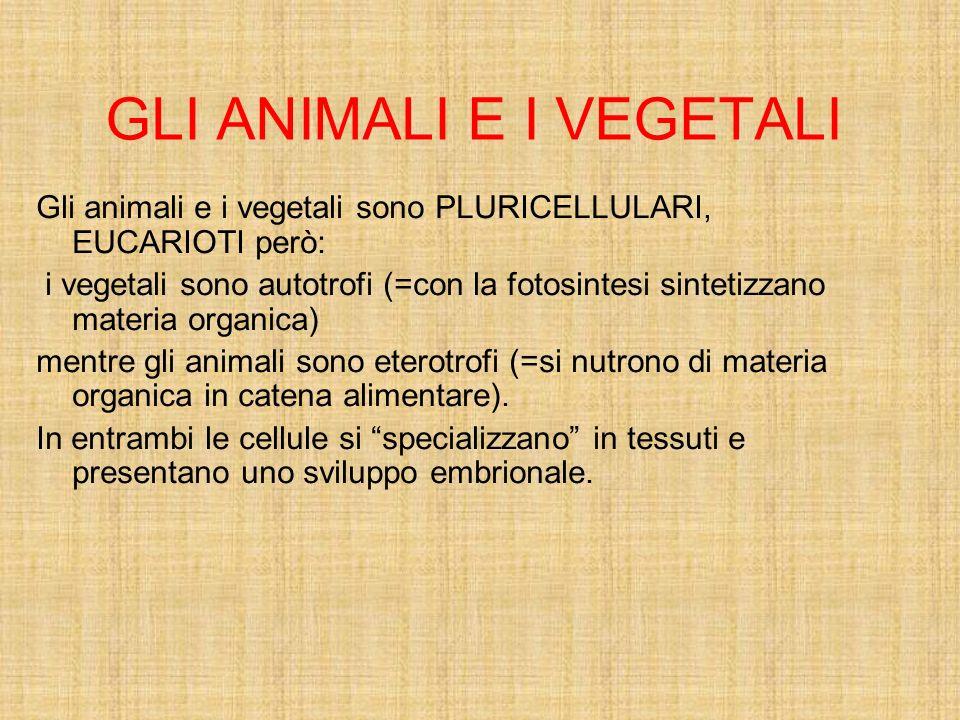 GLI ANIMALI E I VEGETALI Gli animali e i vegetali sono PLURICELLULARI, EUCARIOTI però: i vegetali sono autotrofi (=con la fotosintesi sintetizzano mat