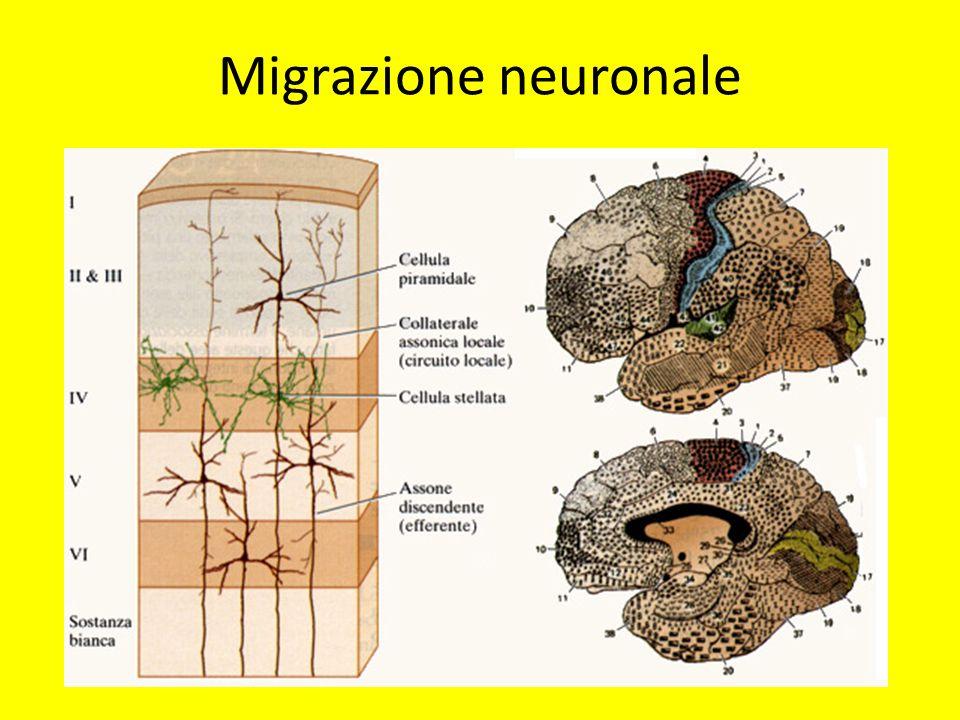 Migrazione neuronale