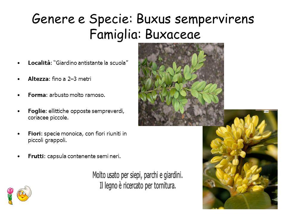 Genere e Specie: Ailanthus altissima Famiglia: Simarubaceae Località: Tra ledificio e il suo cortile Altezza: 19 metri Circonferenza del tronco: 0.31