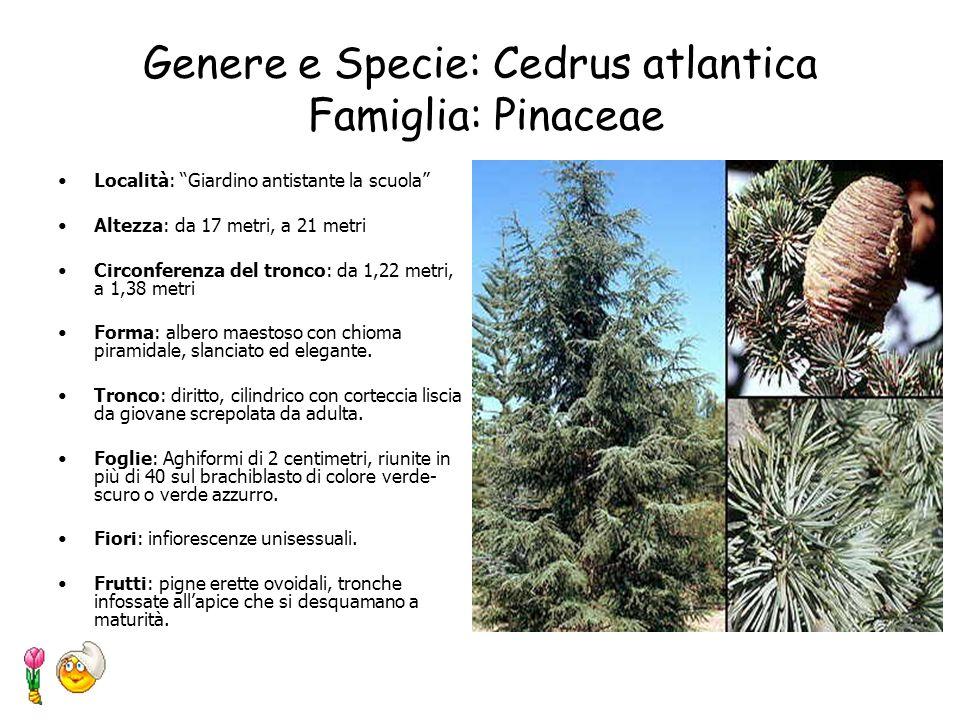 Genere e Specie: Buxus sempervirens Famiglia: Buxaceae Località: Giardino antistante la scuola Altezza: fino a 2–3 metri Forma: arbusto molto ramoso.