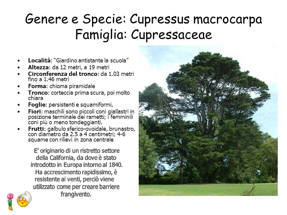 Genere e Specie: Cedrus atlantica Famiglia: Pinaceae Località: Giardino antistante la scuola Altezza: da 17 metri, a 21 metri Circonferenza del tronco