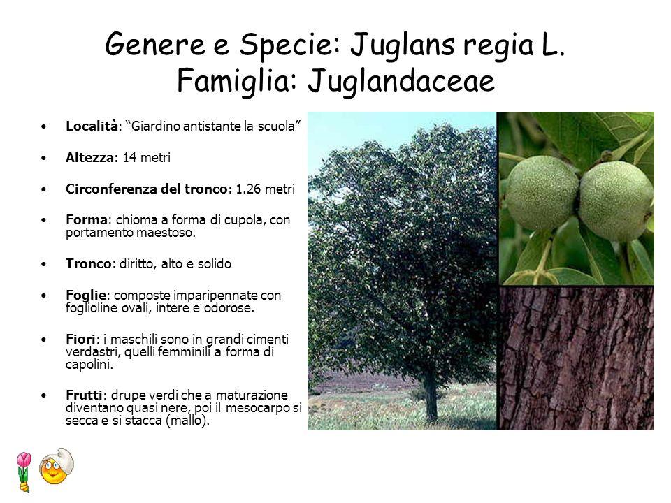 Genere e Specie: Cupressus macrocarpa Famiglia: Cupressaceae Località: Giardino antistante la scuola Altezza: da 12 metri, a 19 metri Circonferenza de