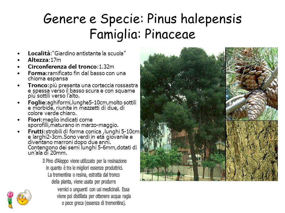 Genere e Specie: Juglans regia L. Famiglia: Juglandaceae Località: Giardino antistante la scuola Altezza: 14 metri Circonferenza del tronco: 1.26 metr