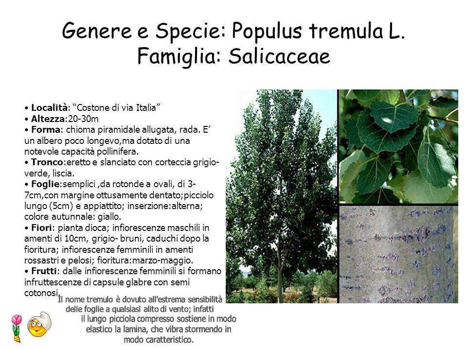 Genere e Specie: Pinus halepensis Famiglia: Pinaceae Località:Giardino antistante la scuola Altezza:17m Circonferenza del tronco:1.32m Forma:ramificat
