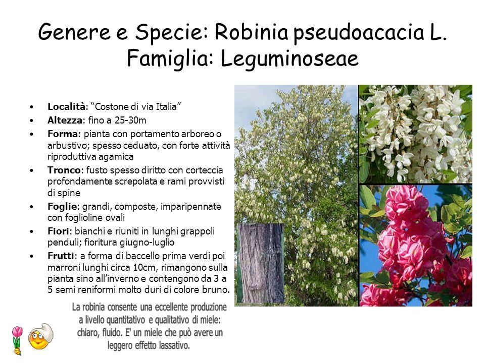 Genere e Specie: Populus tremula L. Famiglia: Salicaceae Località: Costone di via Italia Altezza:20-30m Forma: chioma piramidale allugata, rada. E un