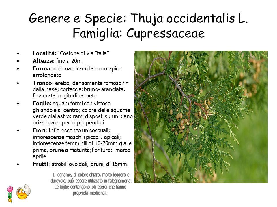 Genere e Specie: Robinia pseudoacacia L. Famiglia: Leguminoseae Località: Costone di via Italia Altezza: fino a 25-30m Forma: pianta con portamento ar