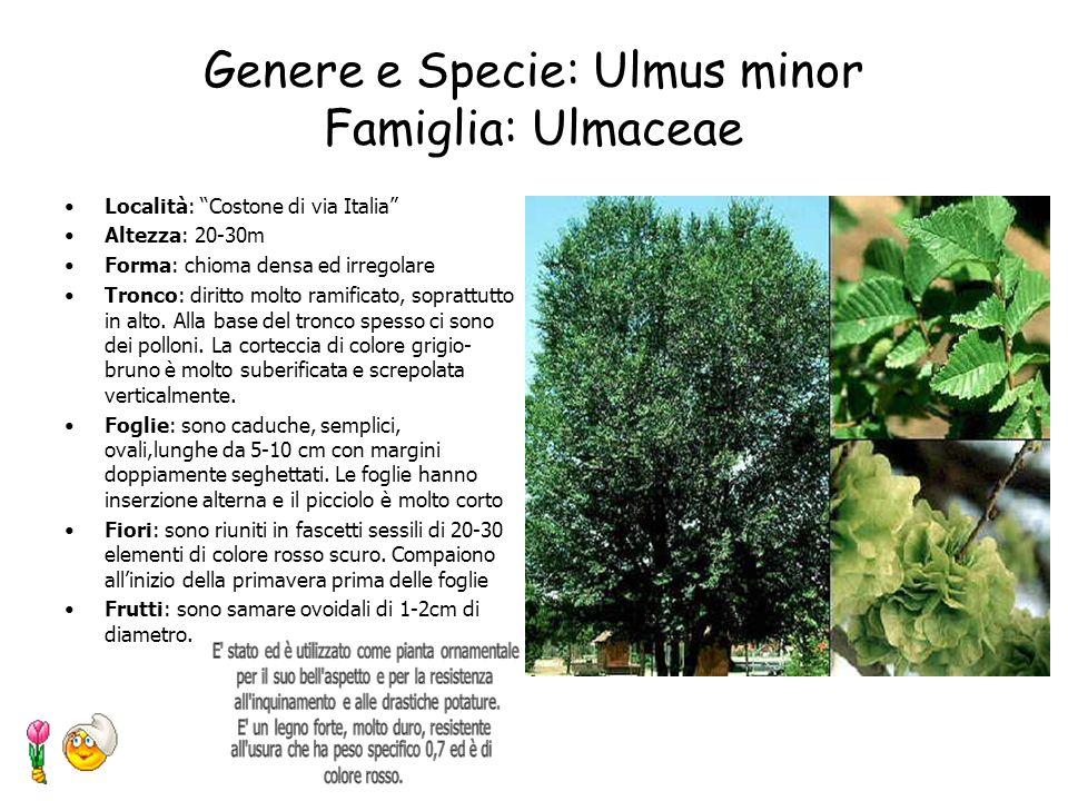 Genere e Specie: Thuja occidentalis L. Famiglia: Cupressaceae Località: Costone di via Italia Altezza: fino a 20m Forma: chioma piramidale con apice a