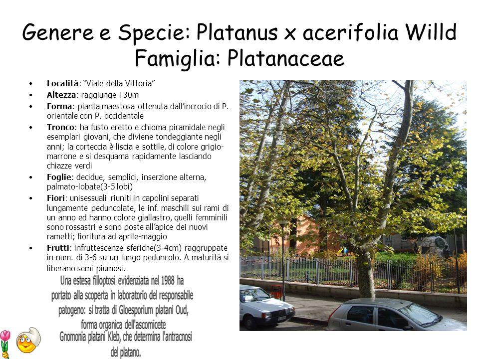 Genere e Specie: Ulmus minor Famiglia: Ulmaceae Località: Costone di via Italia Altezza: 20-30m Forma: chioma densa ed irregolare Tronco: diritto molt