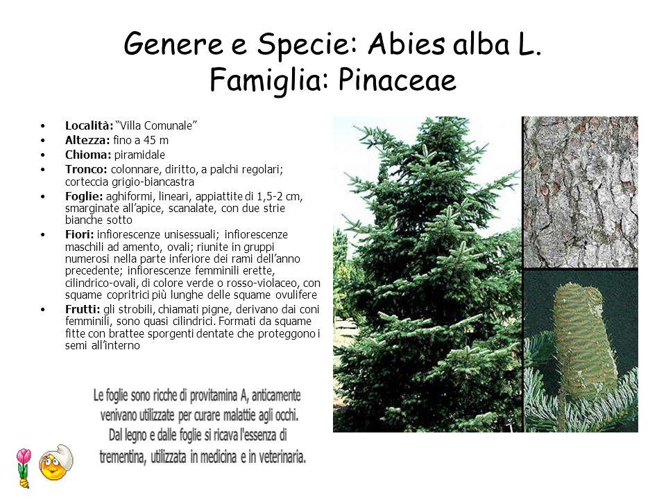 Genere e Specie: Platanus x acerifolia Willd Famiglia: Platanaceae Località: Viale della Vittoria Altezza: raggiunge i 30m Forma: pianta maestosa otte