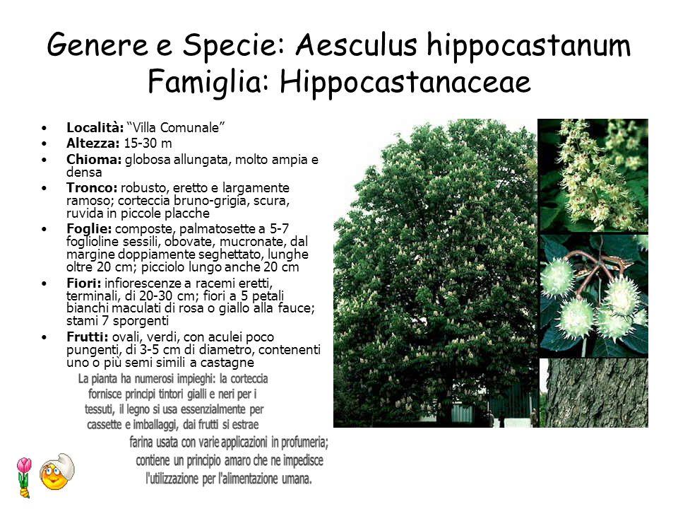 Genere e Specie: Abies alba L. Famiglia: Pinaceae Località: Villa Comunale Altezza: fino a 45 m Chioma: piramidale Tronco: colonnare, diritto, a palch