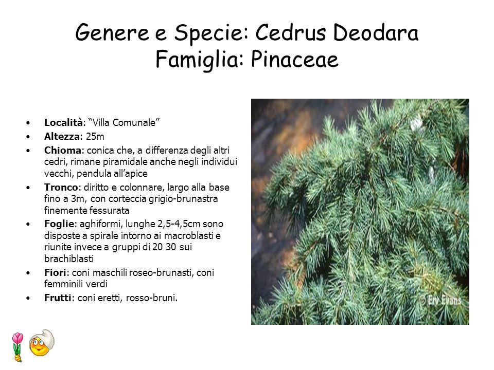 Genere e Specie: Aesculus hippocastanum Famiglia: Hippocastanaceae Località: Villa Comunale Altezza: 15-30 m Chioma: globosa allungata, molto ampia e
