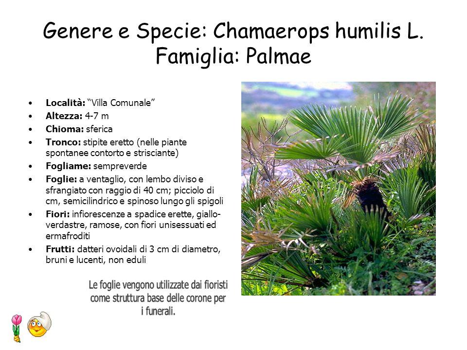 Genere e Specie: Cedrus Deodara Famiglia: Pinaceae Località: Villa Comunale Altezza: 25m Chioma: conica che, a differenza degli altri cedri, rimane pi