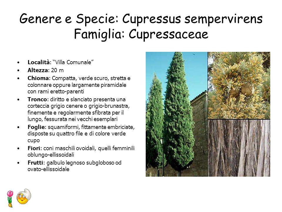 Genere e Specie: Chamaerops humilis L. Famiglia: Palmae Località: Villa Comunale Altezza: 4-7 m Chioma: sferica Tronco: stipite eretto (nelle piante s