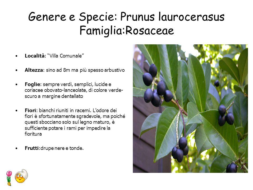 Genere e Specie: Populus nigra L. Famiglia: Salicaceae Località: Villa Comunale Forma: ampia chioma ovaleggiante e rada Tronco: robusto con corteccia
