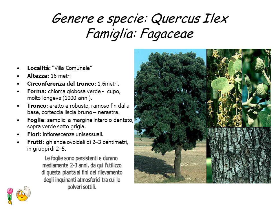 Genere e Specie: Prunus laurocerasus Famiglia:Rosaceae Località: Villa Comunale Altezza: sino ad 8m ma più spesso arbustivo Foglie: sempre verdi, semp