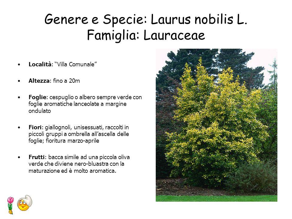 Genere e specie: Quercus Ilex Famiglia: Fagaceae Località: Villa Comunale Altezza: 16 metri Circonferenza del tronco: 1,6metri. Forma: chioma globosa