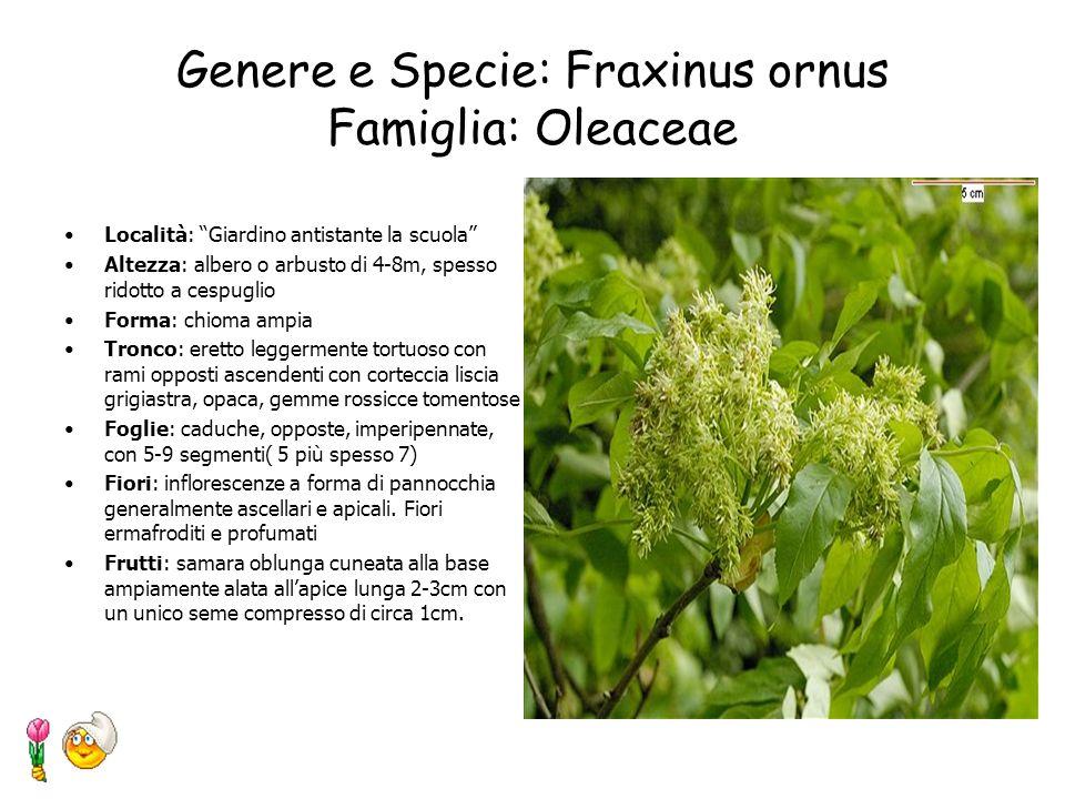 Genere e Specie: Laurus nobilis L. Famiglia: Lauraceae Località: Villa Comunale Altezza: fino a 20m Foglie: cespuglio o albero sempre verde con foglie
