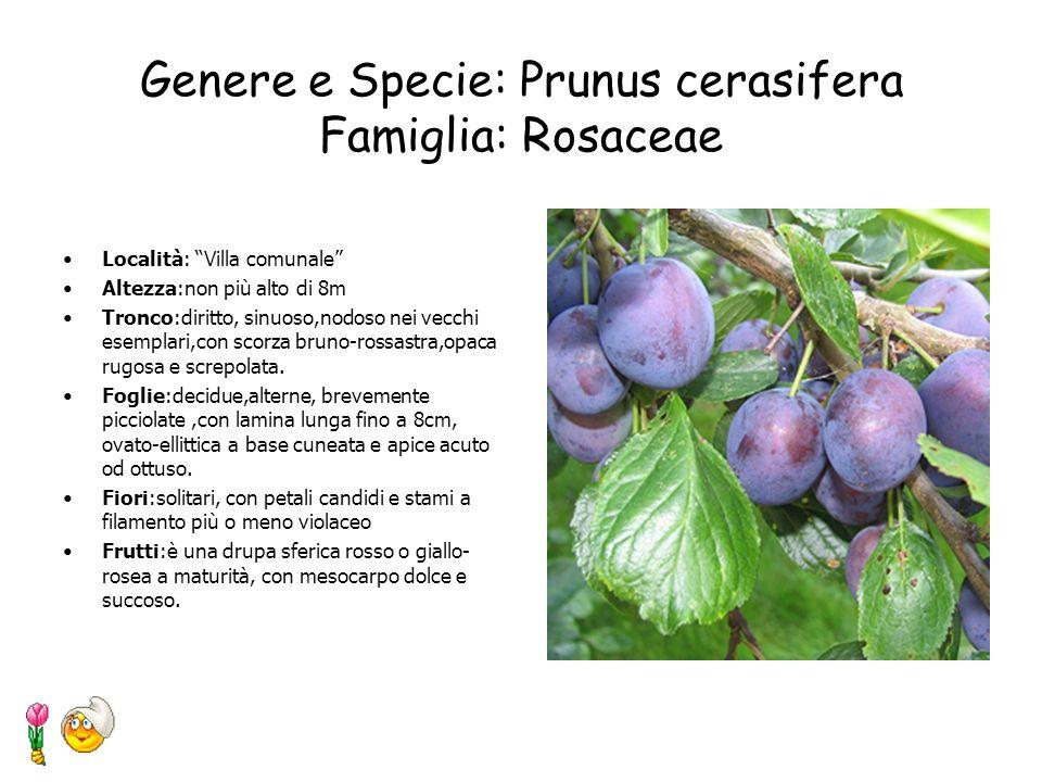 Genere e Specie: Fraxinus ornus Famiglia: Oleaceae Località: Giardino antistante la scuola Altezza: albero o arbusto di 4-8m, spesso ridotto a cespugl