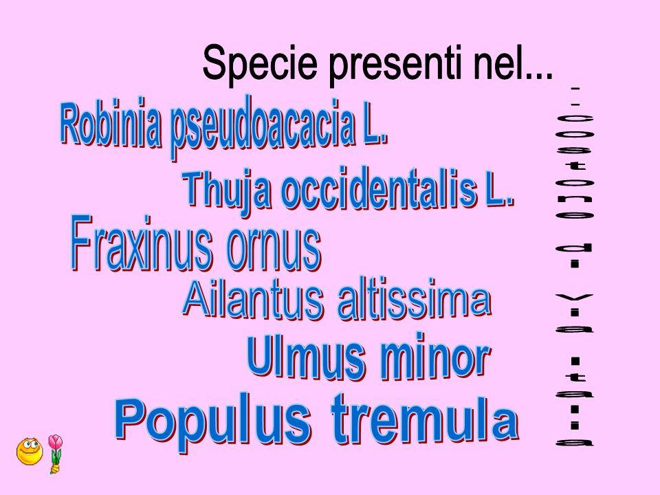 Genere e Specie: Chamaerops humilis L.