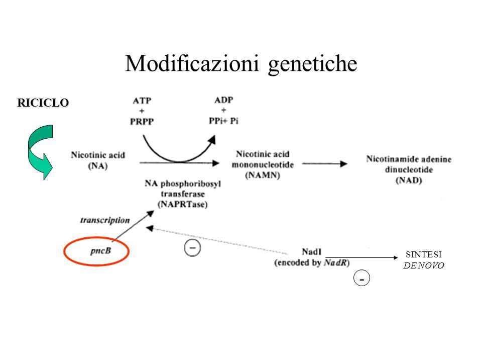 Modificazioni genetiche RICICLO SINTESI DE NOVO -